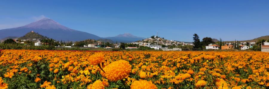 Donde ver y visitar los campos de Flor de Cempasúchil, lugares para tomarse las mejores fotos